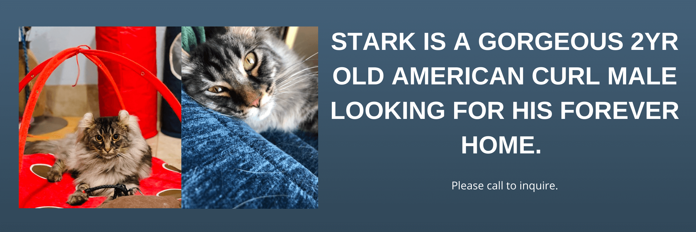 American Curl Stark looking for his forever home.