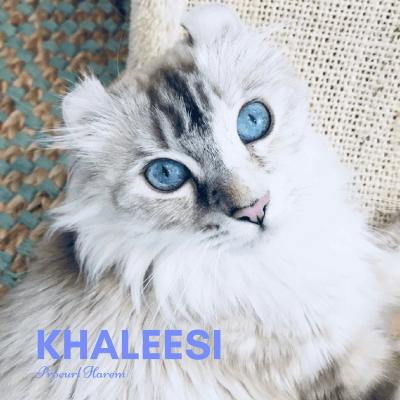 Khaleesi American Curl Procurl Harem Breeding Cat