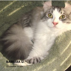 Barbara American Curl Cat