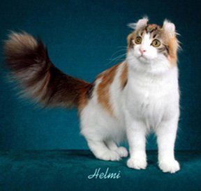 American Curl Cat Goody