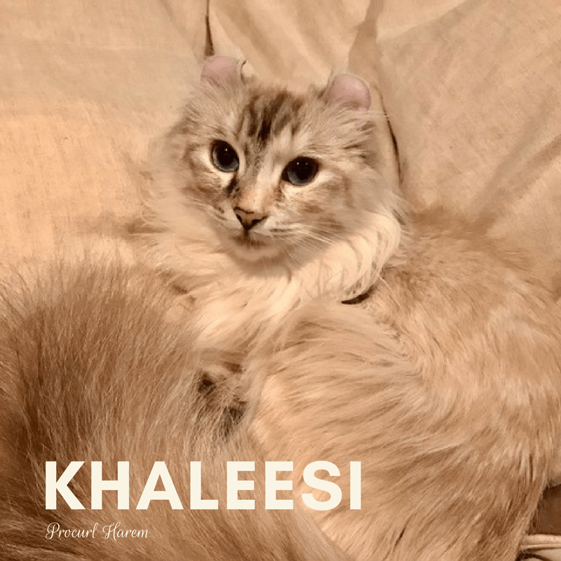 Khaleesi Breeding Female American Curl