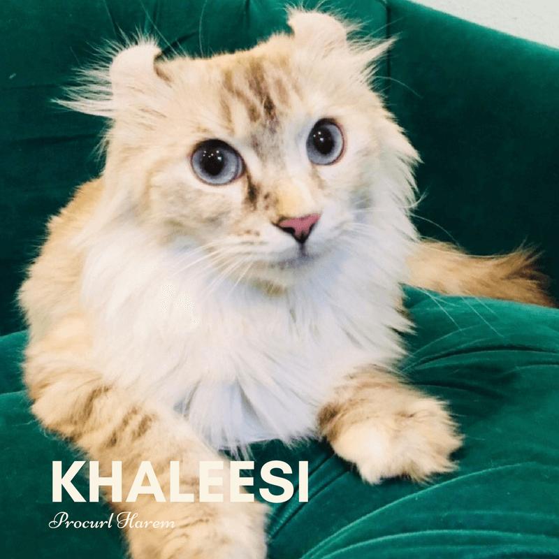 Khaleesi Breeding Female