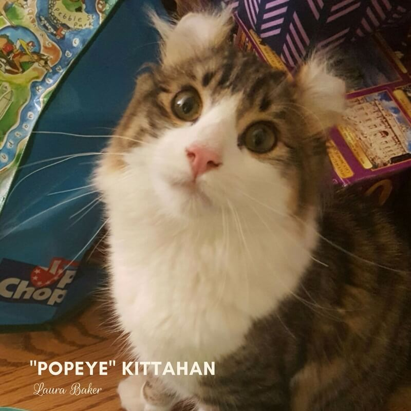 American Curl Popeye