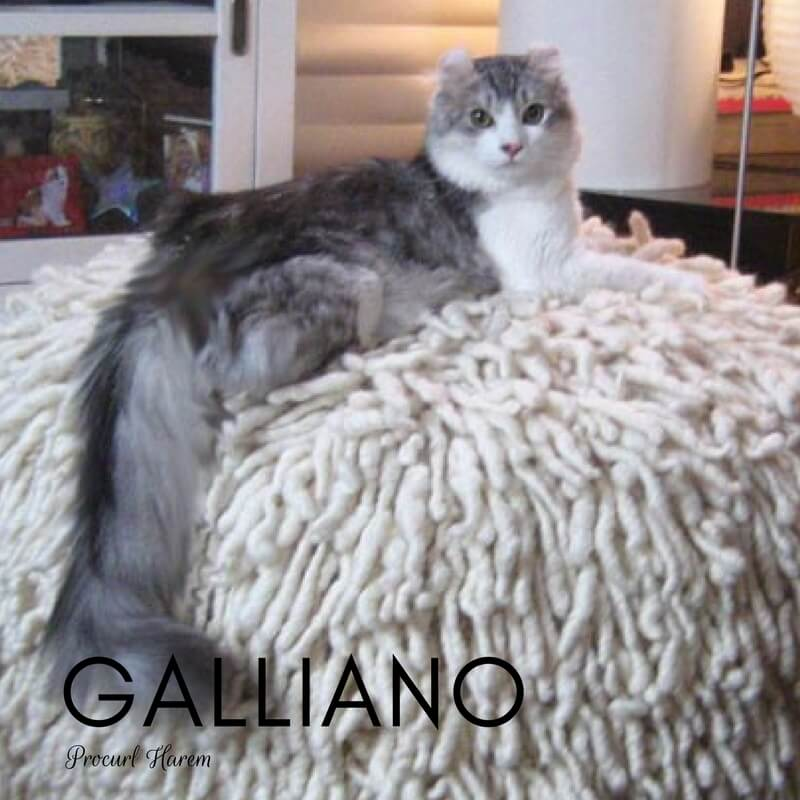 American Curl Cat Galliano
