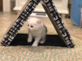 American Curl Kittens May 2018