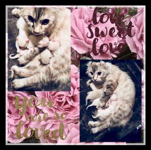"""""""American Kitten Curl Love"""""""