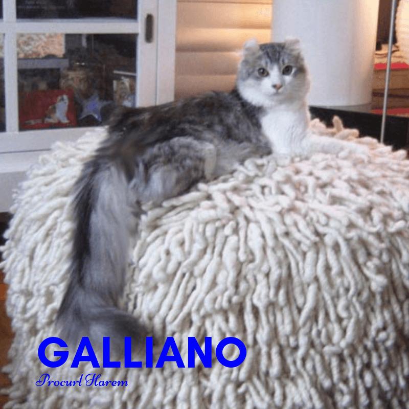 Galliano 2018 American Curl Sire
