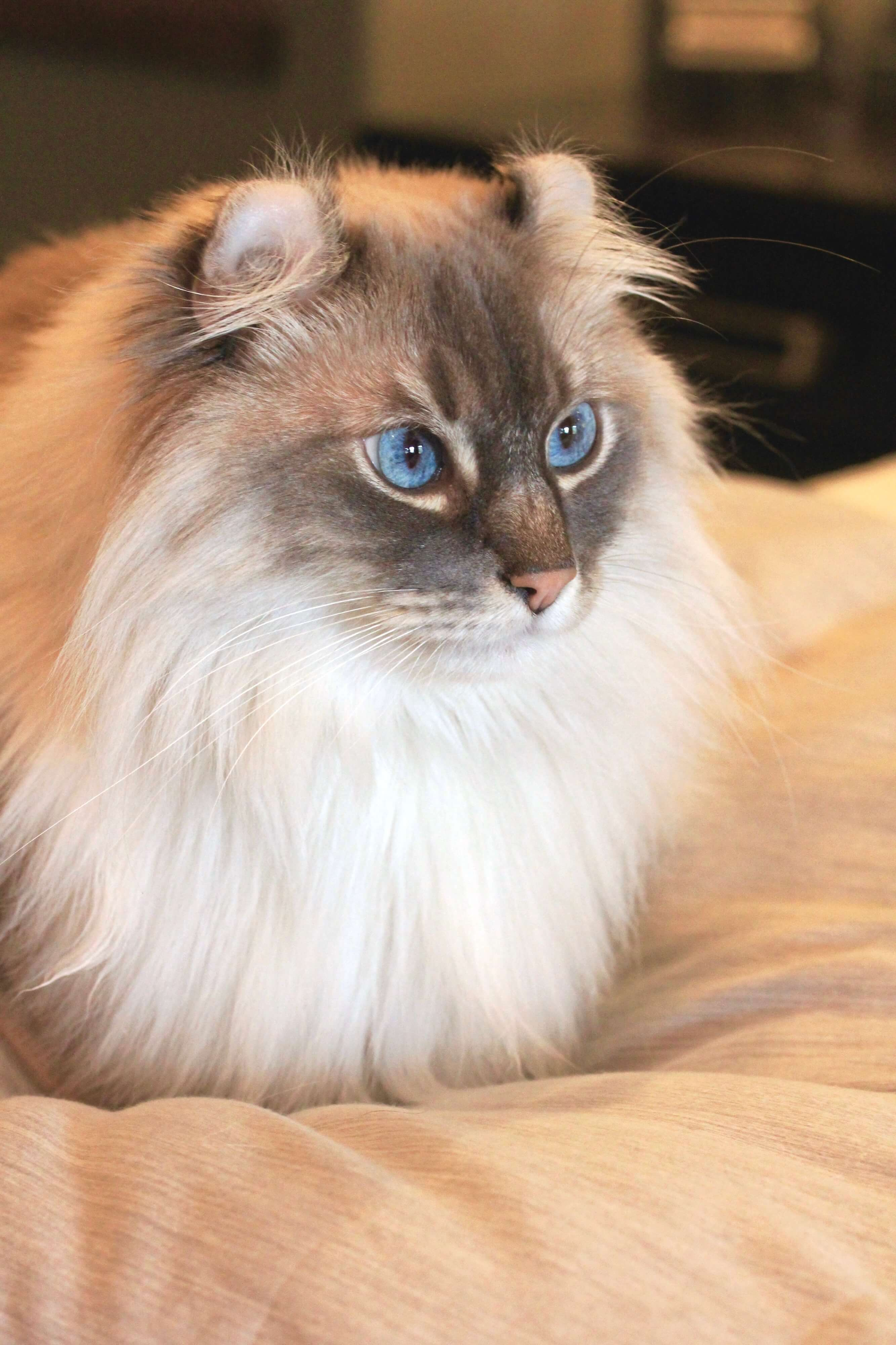 Balinese Cat For Sale Illinois