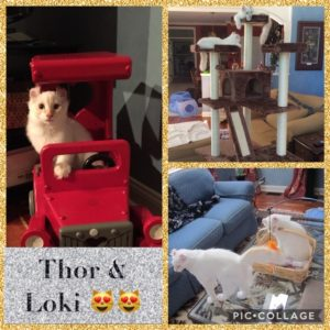 Thor and Loki American Curl Cats