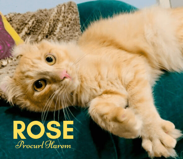 ROSE Procurl Harem Dam American Curl